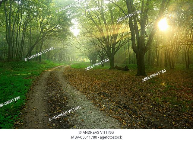 Germany, Saxony-Anhalt, near castle Freyburg Unstrut, sunrays on Forest path in the morning fog