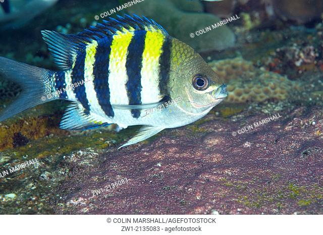 Indo-Pacific Sergeant Damselfish (Abubefduf vaigiensis) guarding eggs at USAT Liberty ship (US Army transport ship torpedoed by Japanese in WWII) on Liberty...