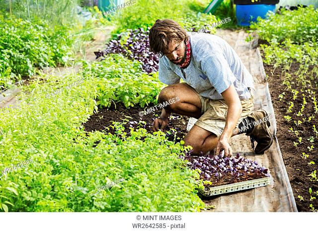 A man working in an organic garden planting small seedlings