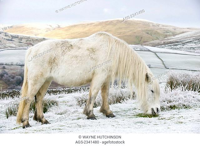 Livestock - White Fell pony on moorland in winter. Fell ponies are a hardy native breed, semi wild. They are normally brown