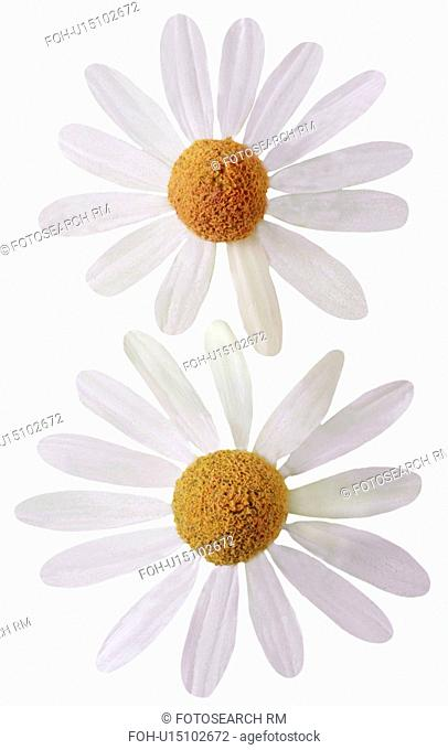Chamomile Flowers On White