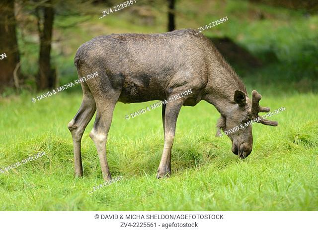 Eurasian elk (Alces alces) male in a forest in early summer