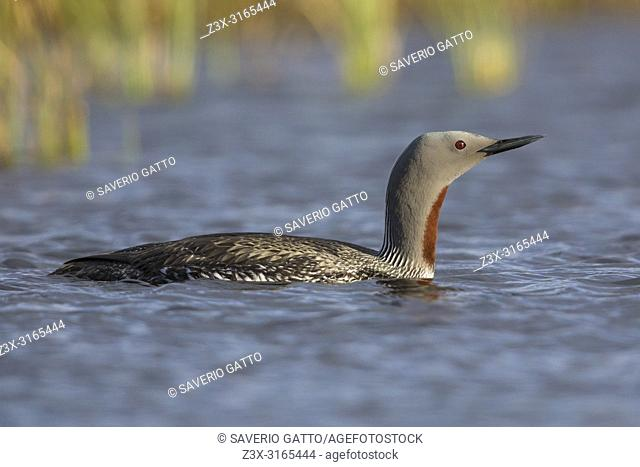 Red-throated Loon (Gavia stellata), adult swimming in a pool