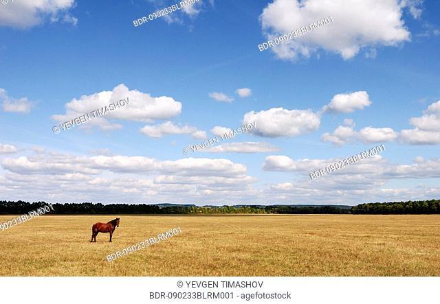 horse on meadow in chernovtsy region of ukraine