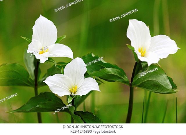 Large-flowered Trillium Trillium grandiflorum