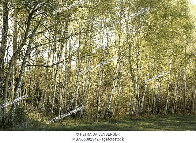 The early morning sunlight shining through a row of birches
