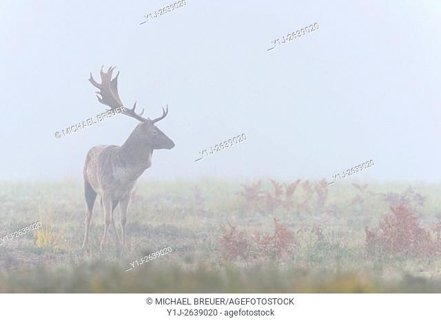 Fallow Deer (Cervus dama) on misty morning, Autumn, Hesse, Germany, Europe