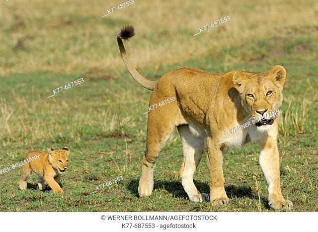 Lioness (Panthera leo) with cub. Massai Mara, Kenya
