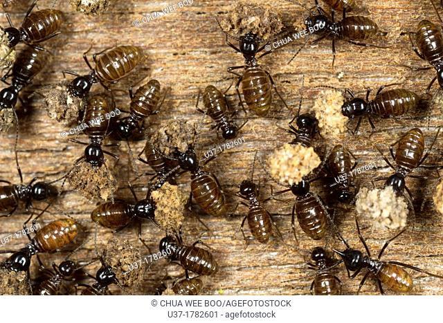 Termites. Image taken at Kampung Satau, Singai, Sarawak, Malaysia