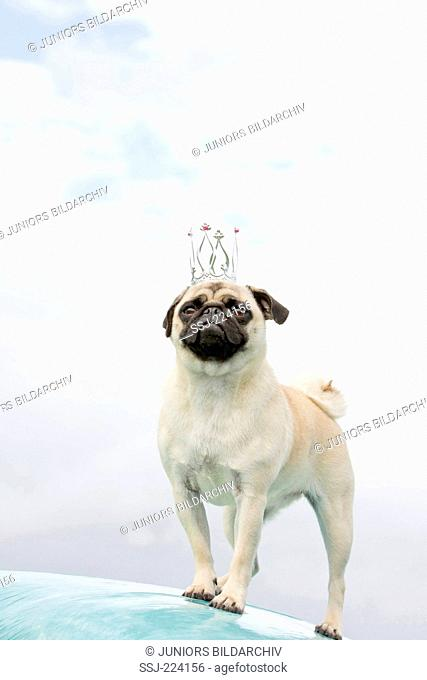 Pug. Adult female standing on hay bundle wrapped in stretch film, wearing a crown. Germany
