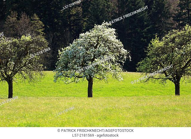 blooming pear tree, spring, Switzerland