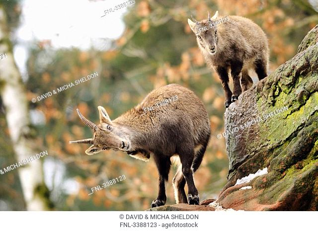 Two Alpine ibex Capra ibex ibex climbing on rocks, Bavaria, Germany, low angle view