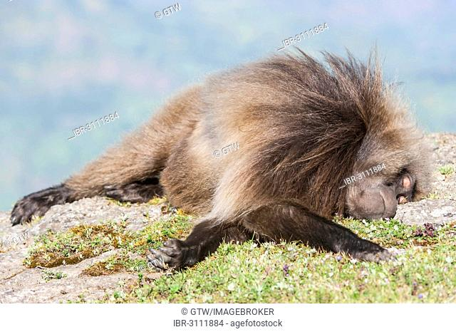 Gelada baboon (Theropithecus gelada) sleeping on the ground, Simien Mountains National Park, Amhara Region, Ethiopia