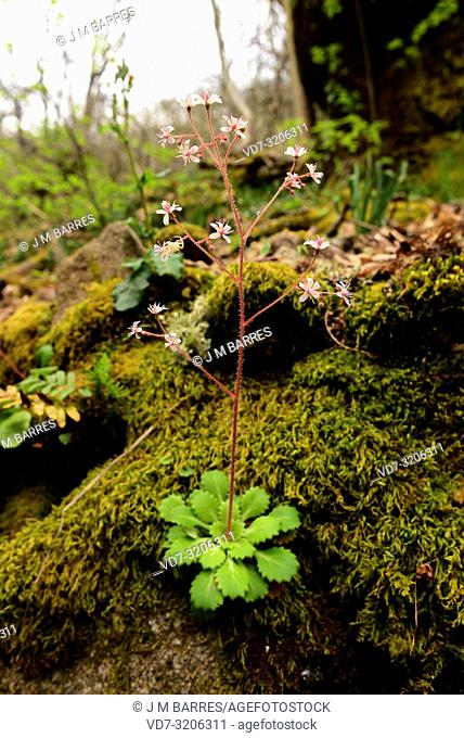 St Patick's-cabbage (Saxifraga spathularis) is a perennial herb native to Iberian Peninsula and Ireland. This photo was taken in Monterrey, Ourense province