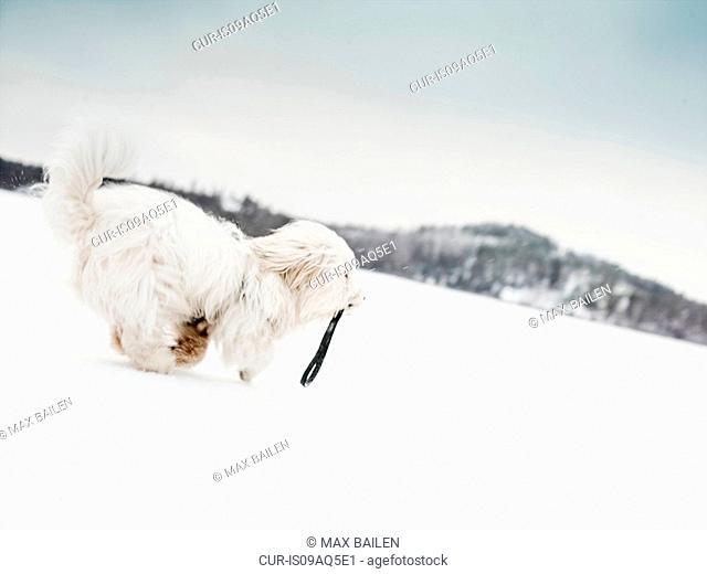 Coton de tulear dog running in snowy landscape