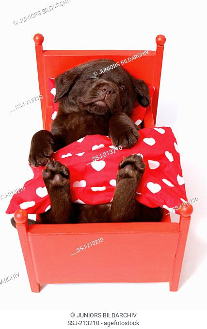 Labrador Retriever. Puppy (6 weeks old) sleeping in a red dolls bed. Studio picture against a white background. Germany