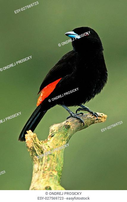 Tanager from tropic forest. Black and red song bird