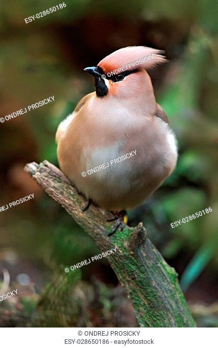 Nice bird Waxwing, Bombycilla garrulus