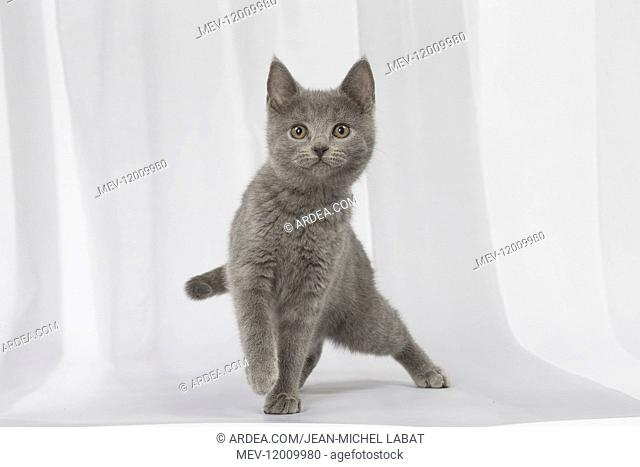 Grey Chartreux kitten in the studio