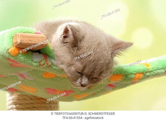 sleeping British Shorthair Kitten