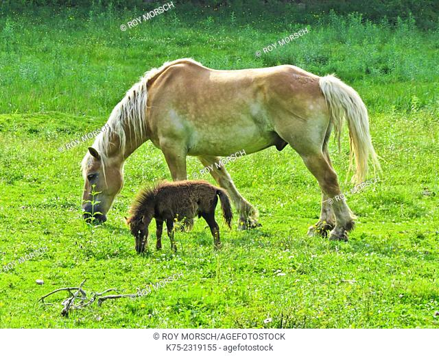 Mother horse and colt in meadow