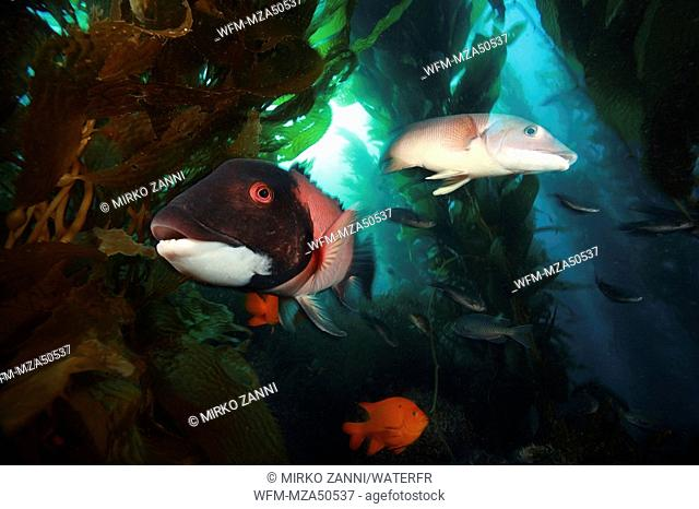Pair of Californian Sheaphead Wrasse in Kelpforest, Semicossyphus pulcher, Santa Catalina Island, Channel Islands, Pacific, California, USA