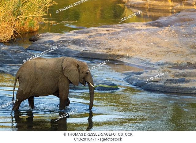 African Elephant (Loxodonta africana) - Wading through the Olifants River. Kruger National Park, South Africa