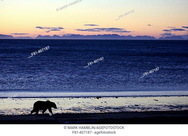 Grizzly Bear (Ursus horribilis), walking along coastline at dawn, Katmai National Park, Alaska, USA