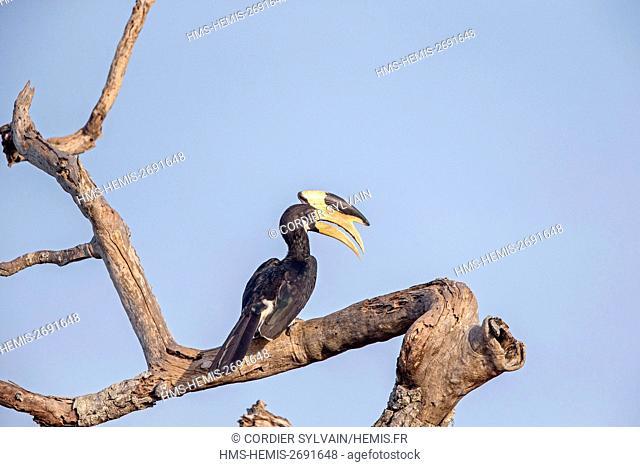 Sri Lanka, Yala national patk, Malabar Pied Hornbill (Anthracoceros coronatus)
