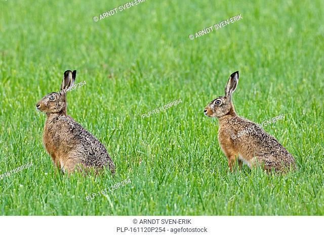 Two European brown hares (Lepus europaeus) sitting in grassland