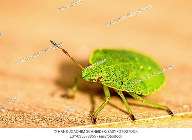 green shield bug, nymph, fauna of Germany