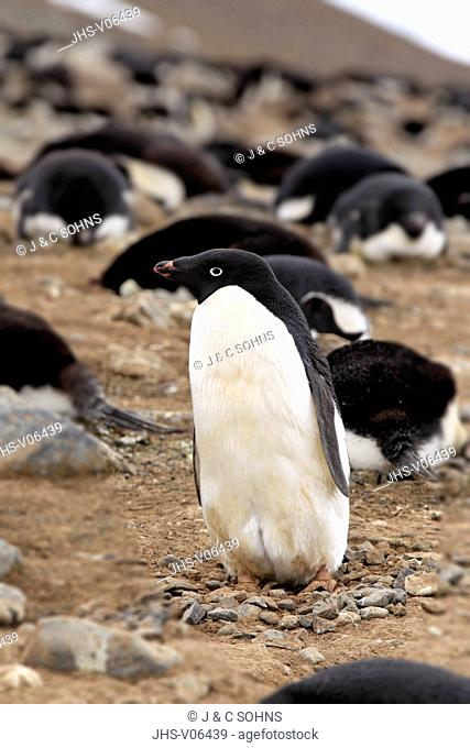 Adelie Penguin, (Pygoscelis adeliae), Antarctica, Devil Island, adult at nest in rookery