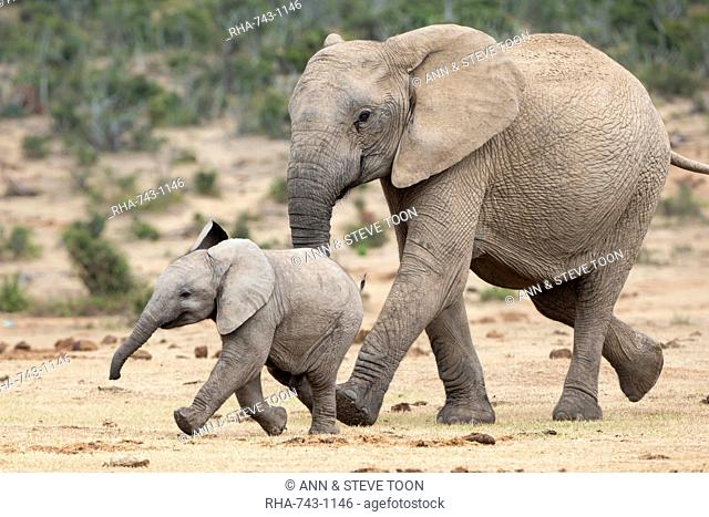 African elephant (Loxodonta africana) and calf, running to water, Addo Elephant National Park, South Africa, Africa