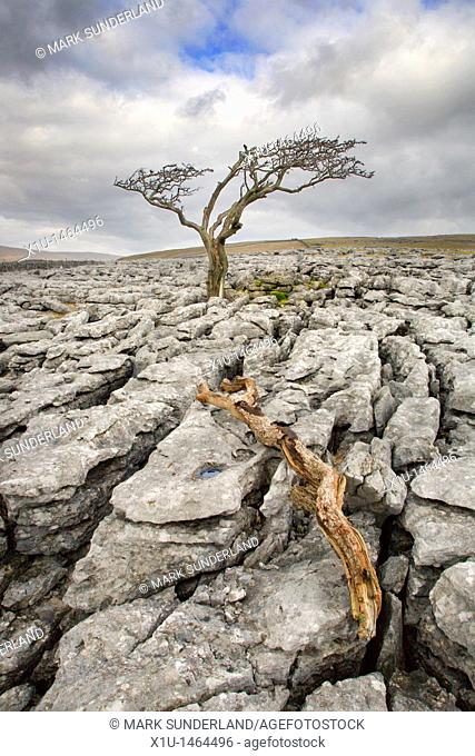 Lone Tree on Twistleton Scar near Ingleton Yorkshire England