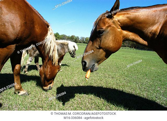 Horse eating a carrot