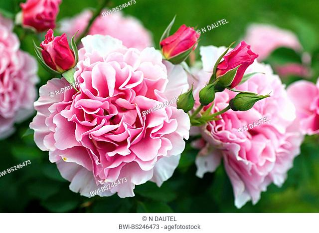 ornamental rose Rosa 'Portmeirion', Rosa Portmeirion, cultivar Portmeirion