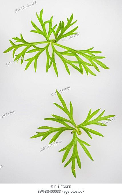 common caraway (Carum carvi), leaves
