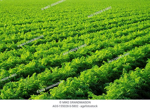 Agriculture - Large field of mature carrots, nearly ready for harvest / Canada - MB, nr. Portage La Prairie