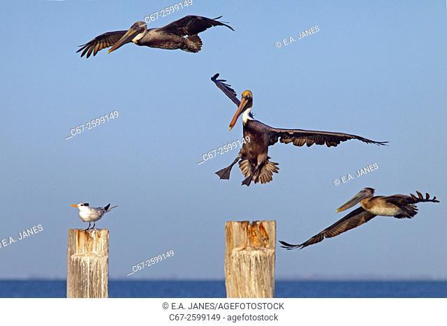 Brown Pelican Pelecanus occidentalis coming into land Florida Gulf coast USA