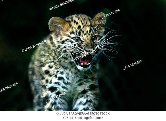 Amur leopard cub - Panthera pardus orientalis - The most endangered of the large felines