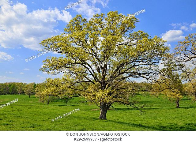 Oak trees with spring foliage, near Conway, Missouri, USA