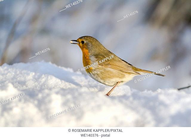 Germany, Saarland, Bexbach, A robin redbreast in the snow is searching for fodder in the snow