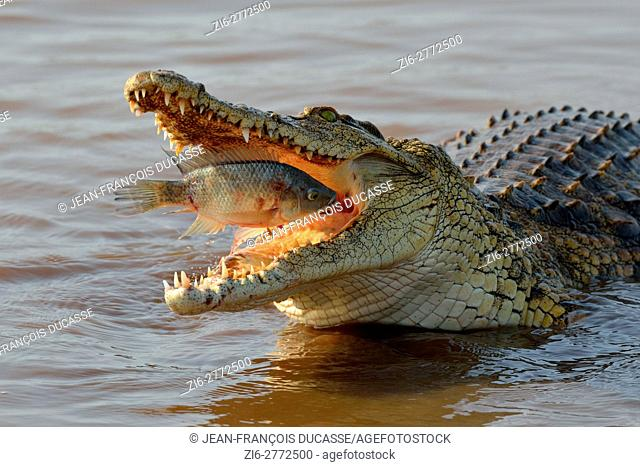 Nile crocodile (Crocodylus niloticus), devouring a fish still alive, Sunset Dam, Kruger National Park, Mpumalanga, South Africa, Africa