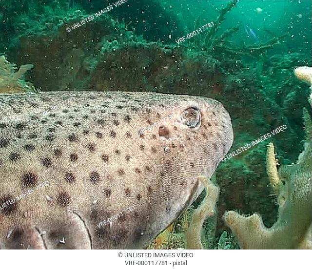 Large dogfish resting on reef, hand strokes it WS