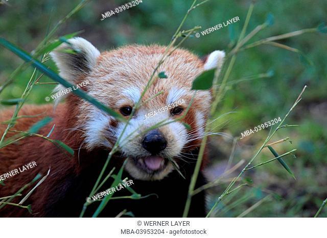 red panda, close-up