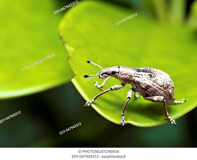 close shot of a weevil,Curculionidae