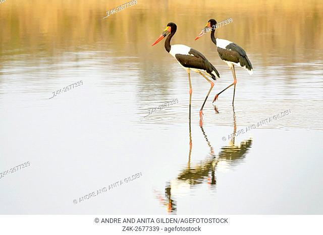 Saddle-billed stork (Ephippiorhynchus senegalensis) at a waterhole with reflection, Kruger National Park, South Africa