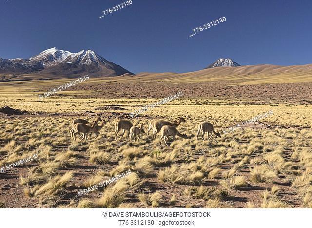 Vicuñas grazing on the altiplano, Atacama Desert, Chile