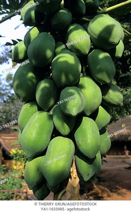 Green papaya  fruits hanging in tree (Carica papaya), Dambulla, Sri Lanka