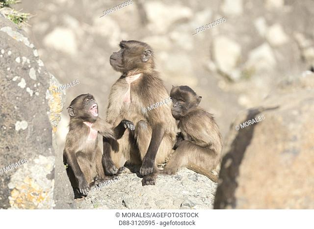 Africa, Ethiopia, Rift Valley, Debre Libanos, Gelada or Gelada baboon (Theropithecus gelada), group of females with babies